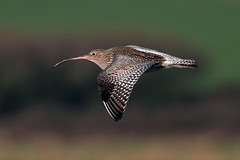 curlew (DODO 1959) Tags: wildlife curlew outdoor avian animal nature fauna flight wader canon 100400mmmk2 7dmk2 carmarthenshire wales kidwellyquay birds