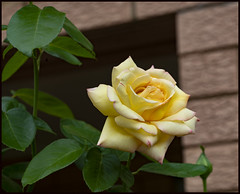 Another Peace Rose has opened-1= (Sheba_Also 47,000 photos) Tags: another peace rose has opened