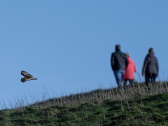 Fantastic watching Short-eared Owls on Marlborough Downs this morning, it always pays to look behind you! (Ted Smith 574) Tags: short eared owl