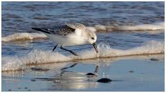 Sanderling on the north Norfolk {UK} tideline. (Jeremy Eyeons) Tags: sanderling rspb titchwell norfolk wader shoreline tideline calidrisalba