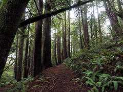 A gentle rise (LeftCoastKenny) Tags: phlegerestate huddartcountypark trees brush ferns hill trail path