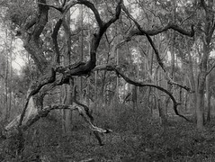 Unruly (surfcaster9) Tags: oaktree gnarly outside blackwhite florida forest outdoors micro43 bw nature woods