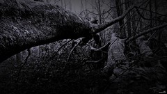 L'invasion rampante. (Un jour en France) Tags: monochrome noiretblanc noir black canoneos6dmarkii canonef1635mmf28liiusm arbre forêt strange