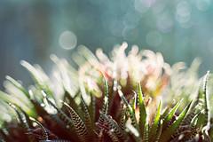 Indoors. A plant that bubbles with the outdoors. (Gudzwi) Tags: sprechblasen textur nahaufnahme closeup rund glitzer sukkulente pflanze topfpflanze drinnen blicknachdrausen fenster bokeh bokehblasen grün unschärfe geringetiefenschärfe licht lichtspiel sonne gegenlicht texture close round glitter succulent plant pottedplant indoors lookoutside window bokehbubbles green fuzziness shallowdepthoffield light lightgame sun backlit speechbubbles smileonsaturday getnatureinyourhome orange blaugrün bluegreen zimmerpflanze houseplant