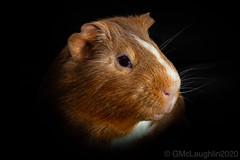 Cinnamon (GWMcLaughlin) Tags: 50mm 70d animal canon cavy cinnamon cute guinea guineapig pet petportrait photo366 pig portrait rodent