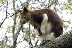 Goodfellows Tree Kangaroo (Lobsterstock) Tags: animal branch brown dendrolagus golden goodfellowi green kangaroo log mammal natural plant tree treekangaroozoocaptivecaptivity