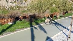 20200107_151631 (David Denny2008) Tags: salobreña spain january 2020 goats herd cabras