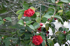 Camellia Blossoms. (dccradio) Tags: lumberton nc northcarolina robesoncounty outdoor outside nature natural plant bush shrub tree nikon d3500 dslr saturday weekend january saturdayafternoon afternoon goodafternoon flower flowers flowering floral bloom blooming blooms blossom blossoming leaf leaves foliage camelliajaponica commoncamellia japanesecamellia tsubaki camellia roseofwinter theaceae