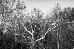 20200118-_BUD9277 Winter Trees 03 (hirschwrites) Tags: 354wwphouse backyard chesterfield earth midwestus missouri monochrome other ourhouses stlouis us usa