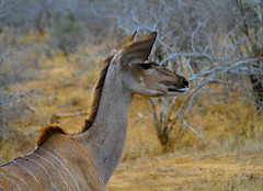 Kudu Antelope in South Africa (` Toshio ') Tags: toshio southafrica africa kudu antelope safari nature wildlife animal mammal canon7d canon 7d ears trees