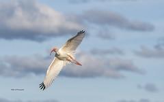 White ibis(flight) (Mike_FL) Tags: whiteibisflight bird nikon nikond7500 nature florida floridawildlife floridabirdingtrail tamron100400 wildlife wetlands wakodahatcheewetlands photograph park image mikesphotography