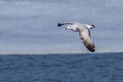 Ring billed gull from last winter (Lynn Tweedie) Tags: beak tail water wing canon ngc animal smithvillelake 7dmarkii missouri bird winter sigma150600mmf563dgoshsm ringbilledgull eos eye feathers ice
