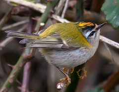 Another photo of the beautiful little Firecrest 🔥😍🐦  What a cracking bird (ferity25@live.co.uk) Tags: firecrest regulusignicapillus birdphotography birder birdgang bird gardenbirdwatch birdconservation ornithology lovenature birdlover naturelover rspblovenature rspbvolunteer birds amaturephotographer photography wildlifelover wildlifephotography naturephotography smallbird cutebird birdwatching birdmagazine birdguide bbcwildlife natgeo bbcspringwatch bbcbirdwatch sigma sigmalens nikonphotography nikon