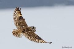 Threat from above. (Earl Reinink) Tags: owl bird winter snow outdoors shortearedowl raptor nature wildlife earlreinink euudadudaa