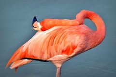 Contortionist flamingo (German Vogel) Tags: bending bent flexibility neck flexible graceful pond flamingo bird nature animalwildlife fauna animal asia travel tourism traveldestinations touristattractions eastasia china hefei anhuiprovince chinaeastasia anhui