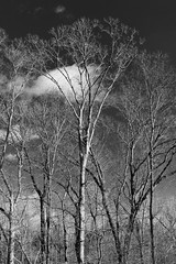 20200118-_BUD9273 Winter Trees 01 (hirschwrites) Tags: 354wwphouse backyard chesterfield earth midwestus missouri monochrome other ourhouses stlouis us usa