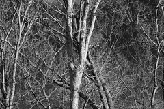 20200118-_BUD9275 Winter Trees 02 (hirschwrites) Tags: 354wwphouse backyard chesterfield earth midwestus missouri monochrome other ourhouses stlouis us usa