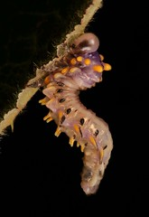 Sawfly Larva (Symphyta, Hymenoptera) (John Horstman (itchydogimages, SINOBUG)) Tags: insect macro china yunnan itchydogimages sinobug entomology canon sawfly larva symphyta hymenoptera black fb