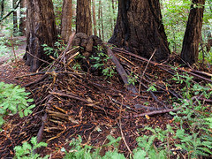 Lean-to (LeftCoastKenny) Tags: phlegerestate huddartcountypark trees branches ferns twigs path trail