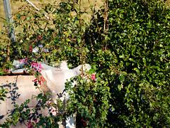 GFX2974 - The cat in the high castle (Diego Rosato) Tags: cat high castle gatto alto castello luke animal animale pet stray randagio giardino garden fuji gfx50r fujinon gf110mm rawtherapee
