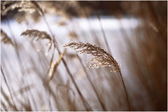 Outdoors. A plant that stretches out to the sun. (Gudzwi) Tags: natur teich textur nahaufnahme closeup glitzer pflanze gras getrocknet vereist drausen bokeh unschärfe geringetiefenschärfe licht lichtspiel sonne gegenlicht nature pond texture close glitter plant grass dried iced outside fuzziness shallowdepthoffield light sun backlit playwithlight fokus focus