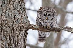 Owl Watching (NicoleW0000) Tags: owl barredowl owls birdofprey bird raptor animals animal eyes owleyes watching tree branch forest woods nature naturephotography wildlife wild birdwatching ontario