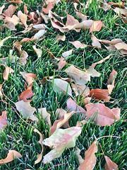 IMG_2381 (ccamy9531) Tags: leaves autumn fall season leave nature backyard lawn grass