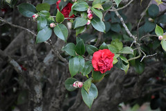 Pink Camellia Blossoms. (dccradio) Tags: lumberton nc northcarolina robesoncounty outdoor outside nature natural plant bush shrub tree nikon d3500 dslr saturday weekend january saturdayafternoon afternoon goodafternoon flower flowers flowering floral bloom blooming blooms blossom blossoming leaf leaves foliage camelliajaponica commoncamellia japanesecamellia tsubaki camellia roseofwinter theaceae