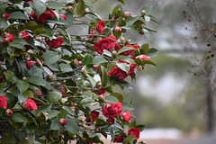 January Flowers. (dccradio) Tags: lumberton nc northcarolina robesoncounty outdoor outside nature natural plant bush shrub tree nikon d3500 dslr saturday weekend january saturdayafternoon afternoon goodafternoon flower flowers flowering floral bloom blooming blooms blossom blossoming leaf leaves foliage camelliajaponica commoncamellia japanesecamellia tsubaki camellia roseofwinter theaceae