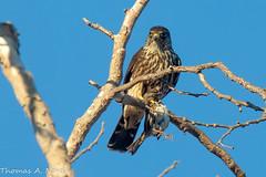 Merlin Falcon with Song Sparrow (?) (Tom Nord) Tags: naturecenter bird falcon sparrow songsparrow naturalarea raptor whittiernarrows whittiernarrowsnaturecentermerlin