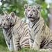 White tiger cubs posing