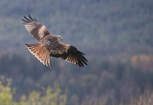 Red Kite over Scottish Woodland