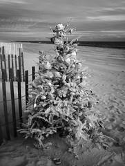 Christmas Remnant - Beach Style  (IR) (F. Neil S.) Tags: boguebanks beach winter sand christmastree shellornaments surf dunes fullspectrumconversion hoya r72 filter sony nex6 emount monochrome blackwhite