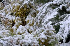 Winter Snow On Bushes (Modkuse) Tags: snow winter bushes nature natural natureart art artphotography artistic artisticphotography photoart outdoors nopostprocessing straightoutofcamera sooc velvia fujifilmvelviasimulation fujifilmxh1 fujifilm fujifilmxh1velviasimulation xh1 fujinon fujinonxf55200mmf3548rlmois xf55200mmf3548rlmois fujinonxf55200f3548rlmois
