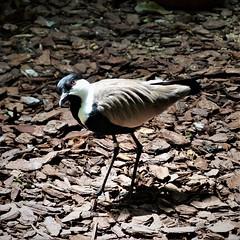 Just A Little Curious (prsavagec) Tags: zoo bird august summer nature naturephotography