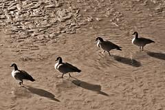 .... (cbrozek21) Tags: canadagoose mud monochrome shadow
