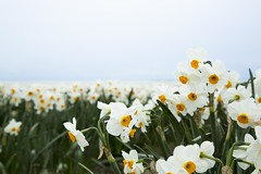 White jonquils in Skagit Valley, Washington (Suni Lynn Lee) Tags: flowers red jonquils skagit valley washington