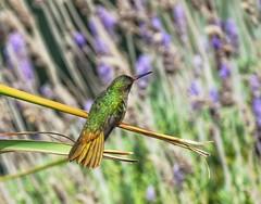 Colores naturales (carlos_ar2000) Tags: colibri picaflor hummingbird ave pajaro bird naturaleza nature animal color colour dof puntadeldiablo rocha uruguay