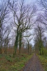 Alte Eichen im Wald (KaAuenwasser) Tags: alt eichen baum bäume wald natur waldweg weg landschaft pflanzen sträucher januar 2020 ast äste
