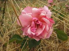 Ragged Beauty (raaen99) Tags: rose rosa flower flora petal petals leaf leaves foliage bloom oldfashionedrose survivor wild pink pinkrose pinkflower ragged grass yellow yellowgrass dry neglect saintgeorgespresbyterianchurch saintgeorgesfreepresbyterianchurch saintgeorgeschurch saintgeorgesgeelong westendchurch westendchurchgeelong saintgeorgeschurchgeelong stgeorgespresbyterianchurch stgeorgesfreepresbyterianchurch stgeorgeschurch stgeorgesgeelong freepresbyterianchurch presbyterianchurch presbyterian geelong latrobetce latrobeterrace ryriest ryriestreet church placeofworship religion religious bellarinepeninsular summer summertime victoria australia nature garden neglectedgarden dereliction