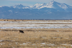 Deer and Longs Peak (Simon Foot) Tags: december usa denver rp winter wildlife rocxkymountainarsenalnationalwildliferefuge mountains canoneosrp co canon 2019 colorado nationalwildliferefuge