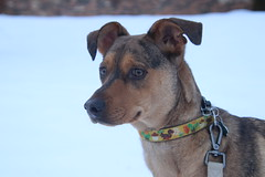 221/366/4238 (January 18, 2020) - Runyon Being Runyon!  January 18th, 2020 (cseeman) Tags: saline michigan dogs pets runyonjan18th2020 puppy puppies dog dogbranddog mixedbreed brown young rescuedogs catahoula catahoulamix catahoulaleopardmix toys dogtoys runyon2020 snow snowy 2020project365coreys yeartwelveproject365coreys project365 p365cs012020 356project2020