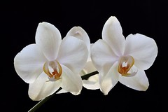 Winter Orchids (Sandra Mahle) Tags: orchid orchids flower floral flowers nature blooms white petals