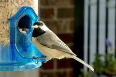 Backyard Birds 1/3 (WalrusTexas) Tags: poecilecarolinensis carolinachickadee bird feeder
