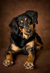 Happy Go Lucky! (cindiefearnall) Tags: dog portrait petphotography petportrait petphotographer cindiefearnall furbaby canine studioportrait studiolighting companionanimal mutt mixedbreed animal animalphotography southamptonontario flashphotography