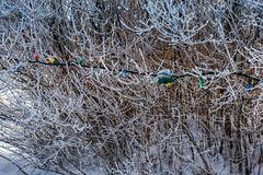 Pretty Lights Around Tree (Bracus Triticum) Tags: pretty lights around tree fort macleod アルバータ州 alberta canada カナダ 11月 十一月 霜月 jūichigatsu shimotsuki frostmonth autumn fall reiwa 2019 november