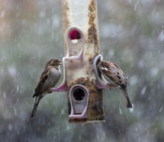 2020-01-14 Our 20-minute snow squall! (Mary Wardell) Tags: snow birds feeder winter january brief canon60d