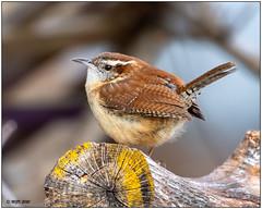 Carolina Wren -Explored- DSC_2193 (blindhogmike) Tags: nature natur wildlife faune tierwelt bird oiseau vogel southcarolina sc lexington columbia