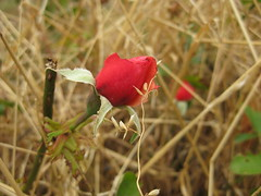 Beauty Amid the Neglect (raaen99) Tags: rose rosa flower flora petal petals leaf leaves foliage bloom oldfashionedrose survivor wild bud gemma hope beginning birth red redrose redflower grass yellow yellowgrass dry neglect saintgeorgespresbyterianchurch saintgeorgesfreepresbyterianchurch saintgeorgeschurch saintgeorgesgeelong westendchurch westendchurchgeelong saintgeorgeschurchgeelong stgeorgespresbyterianchurch stgeorgesfreepresbyterianchurch stgeorgeschurch stgeorgesgeelong freepresbyterianchurch presbyterianchurch presbyterian geelong latrobetce latrobeterrace ryriest ryriestreet church placeofworship religion religious bellarinepeninsular summer summertime victoria australia nature garden neglectedgarden dereliction