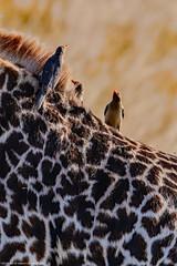 2017.06.23.5995 Tick Birds (Brunswick Forge) Tags: grouped tanzania africa serengeti serengetinationalpark bird birds outdoor outdoors animal animals animalportraits wildlife nature summer winter nikond500 day clear sky air tamron150500mm sunny 2017